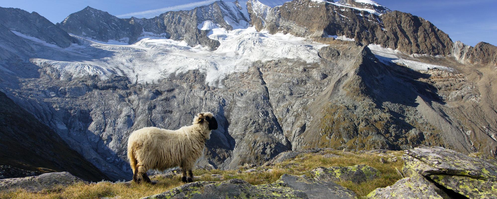Schaf beim Furtschagelhaus mit Hochfeile im Hintergrund